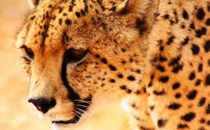 Internship at Cheetah Experience, Bloemfontein, SA