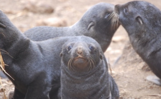 South American fur seals - research & conservation