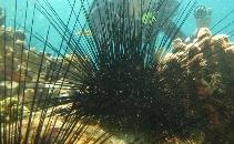 Researching Diadema antillarum to save coral reefs