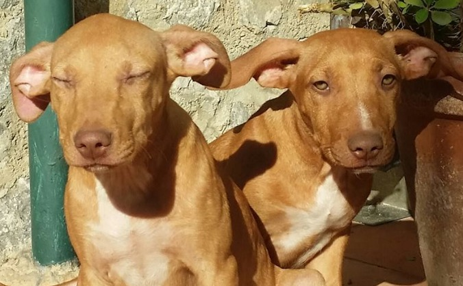 Find these 3 adorable cirneco's puppies a new home