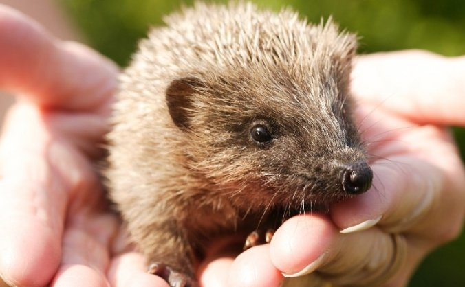 Crowdfunding for the Happy Hedgehog rescue centre!