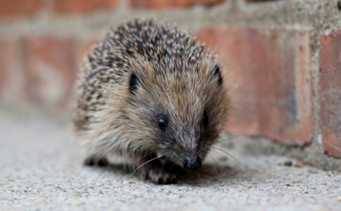 The Last Hedgehog in Gloucestershire?