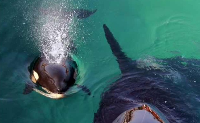 Help Chris swim with Killer Whales and Humpbacks