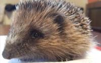 Hedgehog Rehabilitation Shed