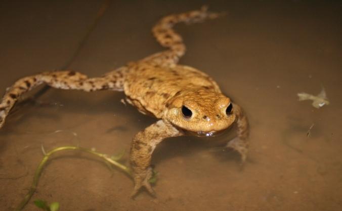 Kent toad patrol 2017