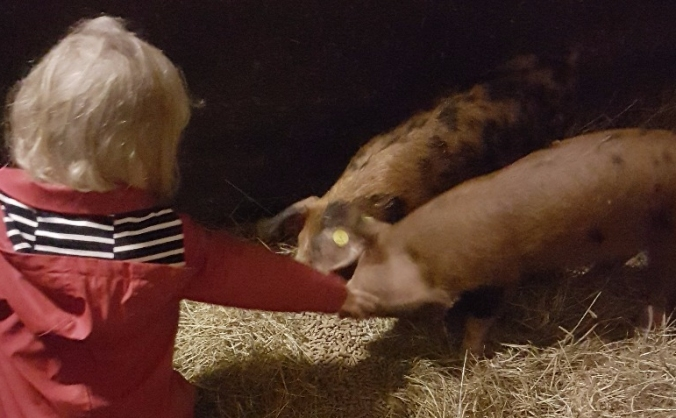 Smallholding - Pedigree  Sheep and Pig Breeding