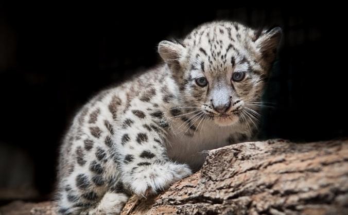 Snowleopards Left