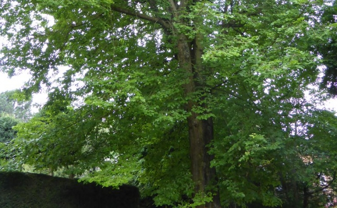Resistant Elm Tree Colony in Sheffield