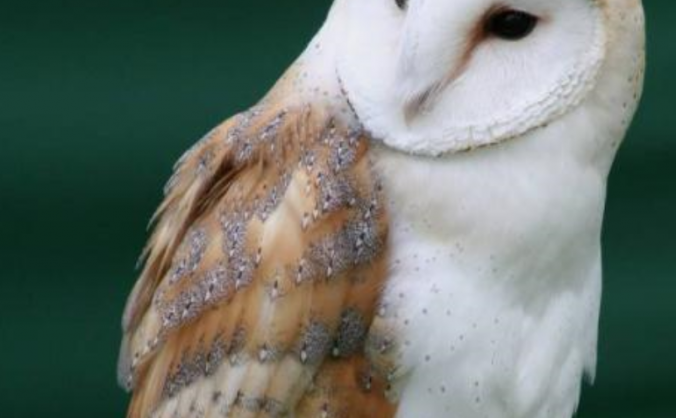 Help us to save our Barn Owls