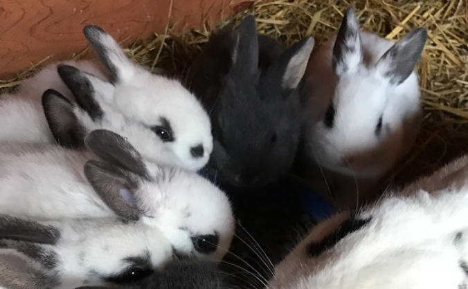 Rescue rabbits vaccination
