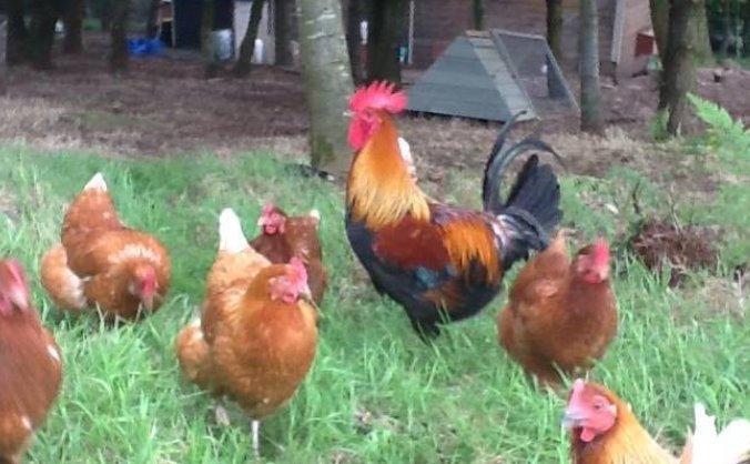Golcar Free Range Eggs