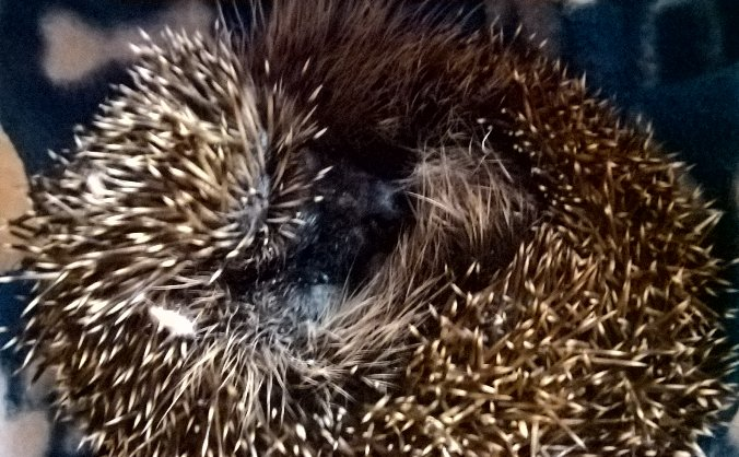 Forth hedgehogs new hospital