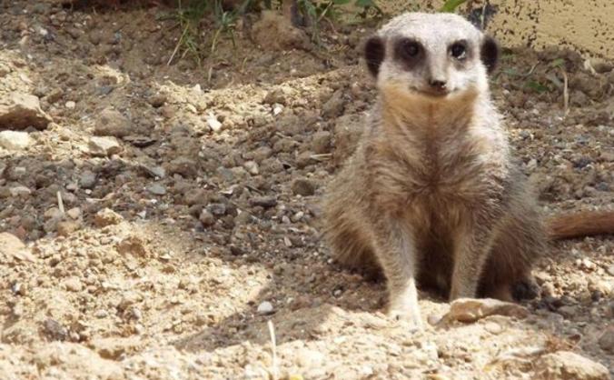 Building the Meerkats New Home!