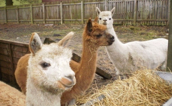 Alpaca Care Fund
