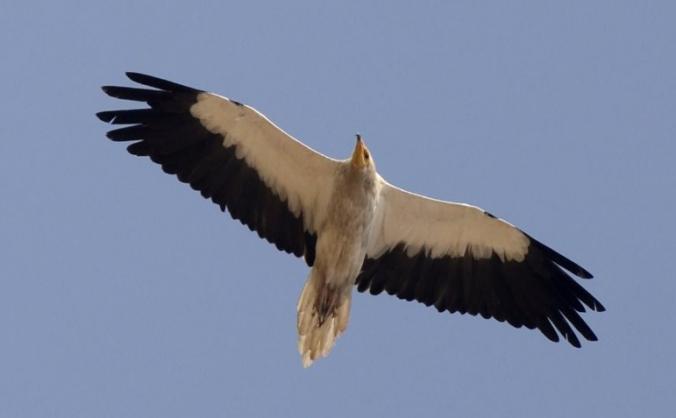 Saving Albania's Vultures