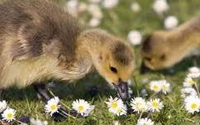 Eco- Friendly Feathered Lawn Mowers