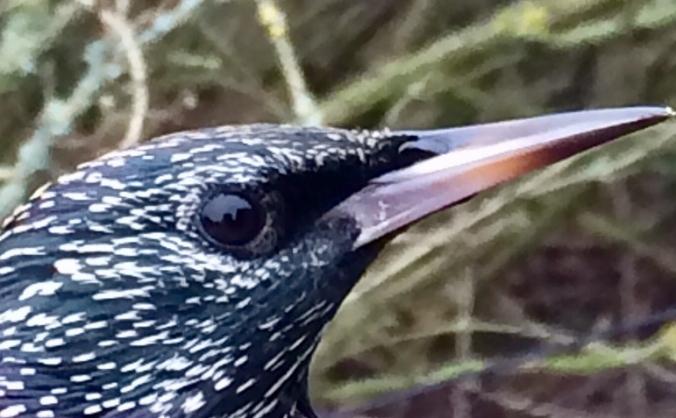 Sassy Starling Ringing & Monitoring