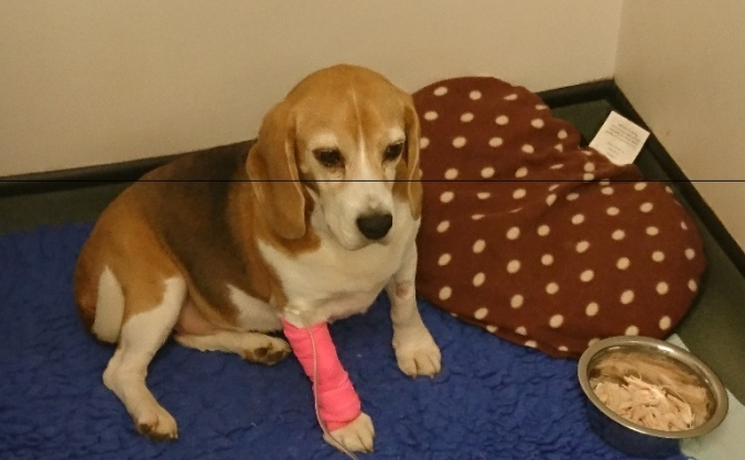 Sophie the beagle's operation and treatment