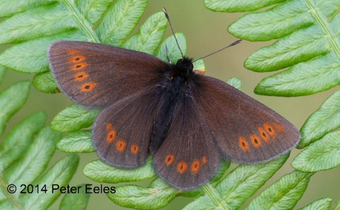 Giving mountain ringlets a brighter future