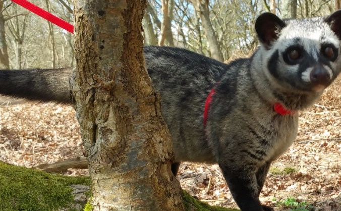 Help Our Asian Palm Civet!