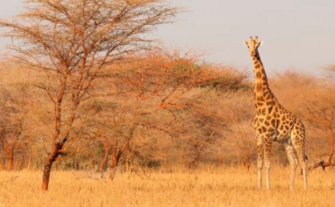 Kordofan Giraffe  Project