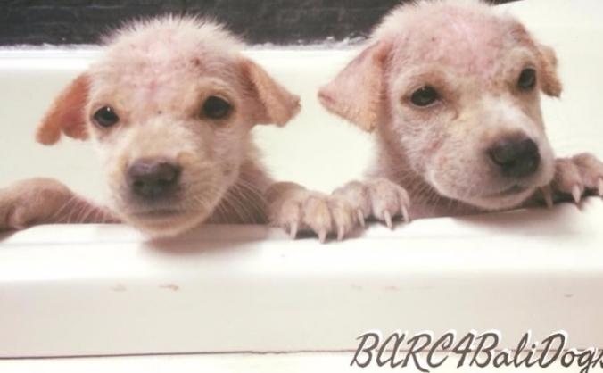Help BARC help Bali dogs