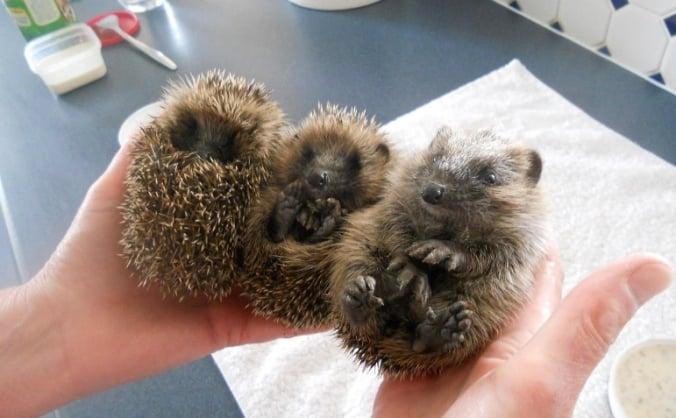Save North Devon Hedgehog Rescue