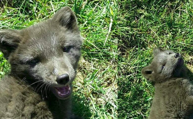 Arctic Fox Research in Iceland
