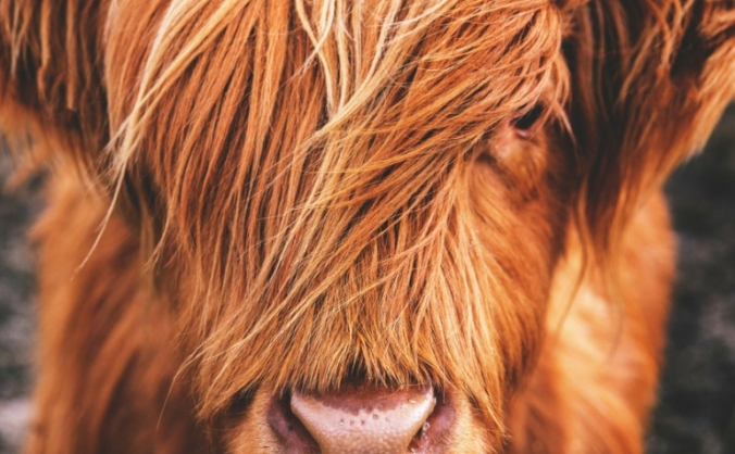 Carna Conservation Cows