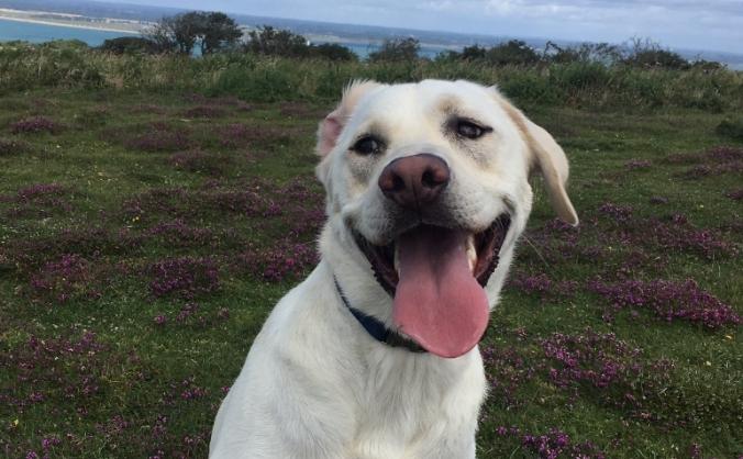 Harvey the Labradors Elbow Dysplasia