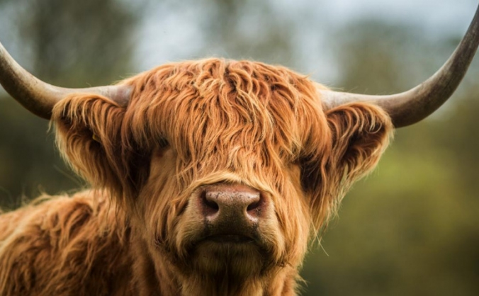 To Increase The Number Of Rare Breed Cattle!