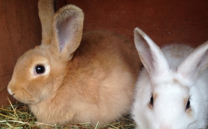Rabbit and Guinea pig rescue