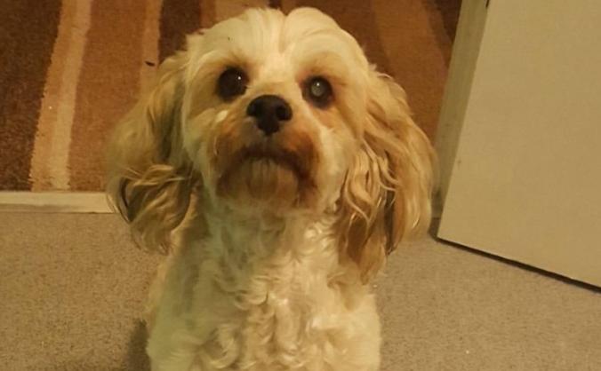 Helping my dog see again.