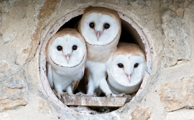 Dorset's Barn Owls - their future is in your hands