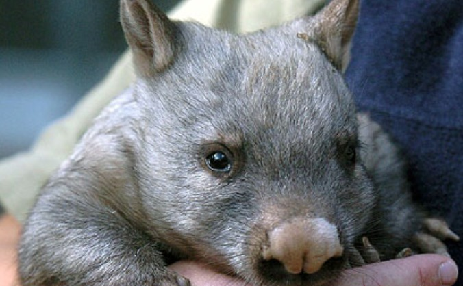 Save the Wombat, #saveMarvin