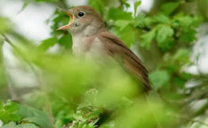 Keep the Nightingales Singing!