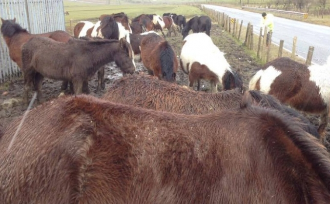 Welsh Ponies Rescue & Rehoming Project