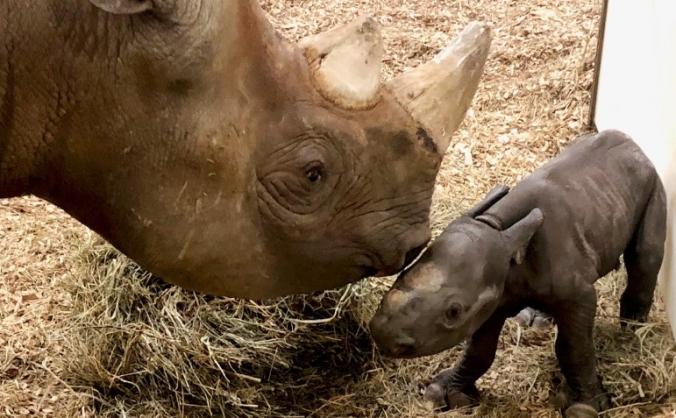 Baby rhino needs help