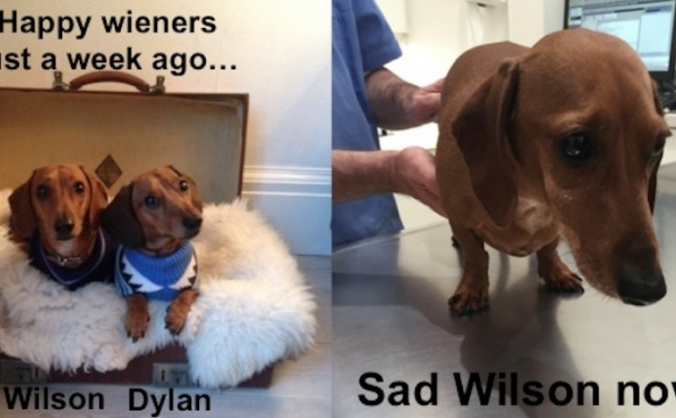 Save Wilson The Line Walking Wiener Dog