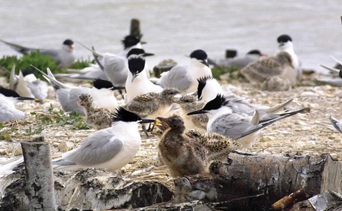 Brownsea Island's birds need you