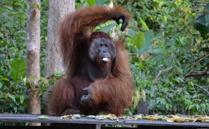 Rainforest Indonesia for protecting Orang-Utans