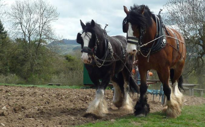 Acton Scott's Shire Horses