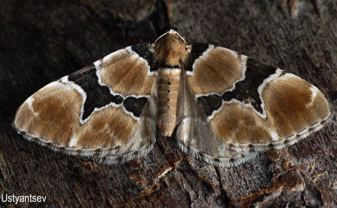 Protect the marvellous Marsh Carpet moth