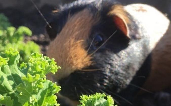 Help rebuild our guinea pig homes