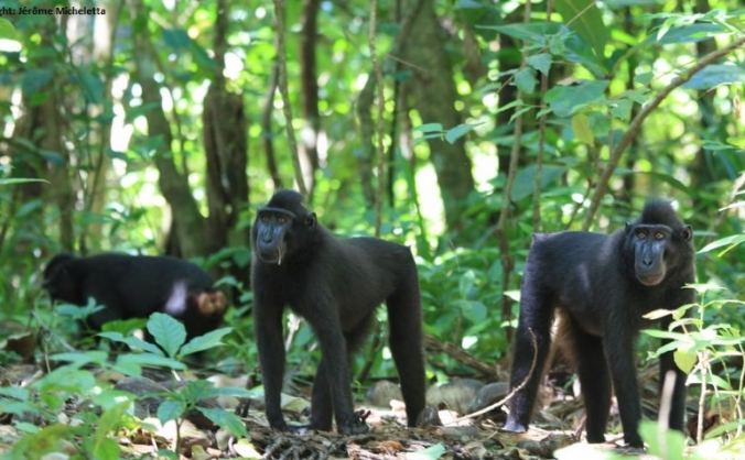 Act For Crested Macaques