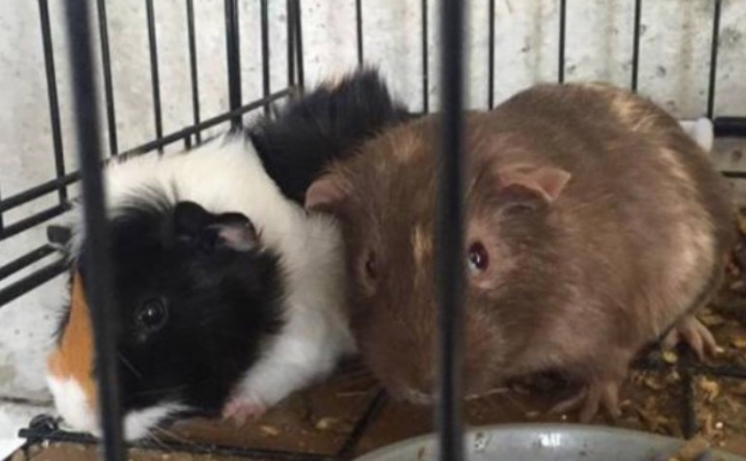 Rescue these 2 Gumtree Guinea Pigs