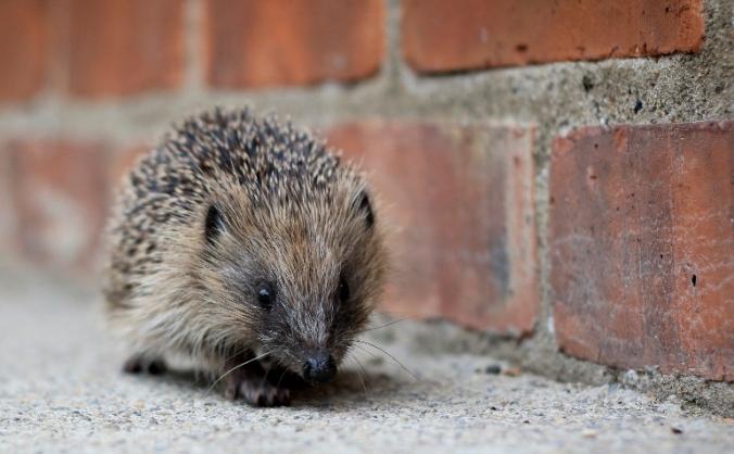 Creating a Hedgehog-Friendly Town