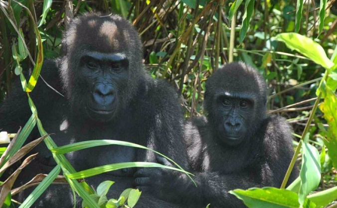 Gorilla Reintroduction Project, Gabon