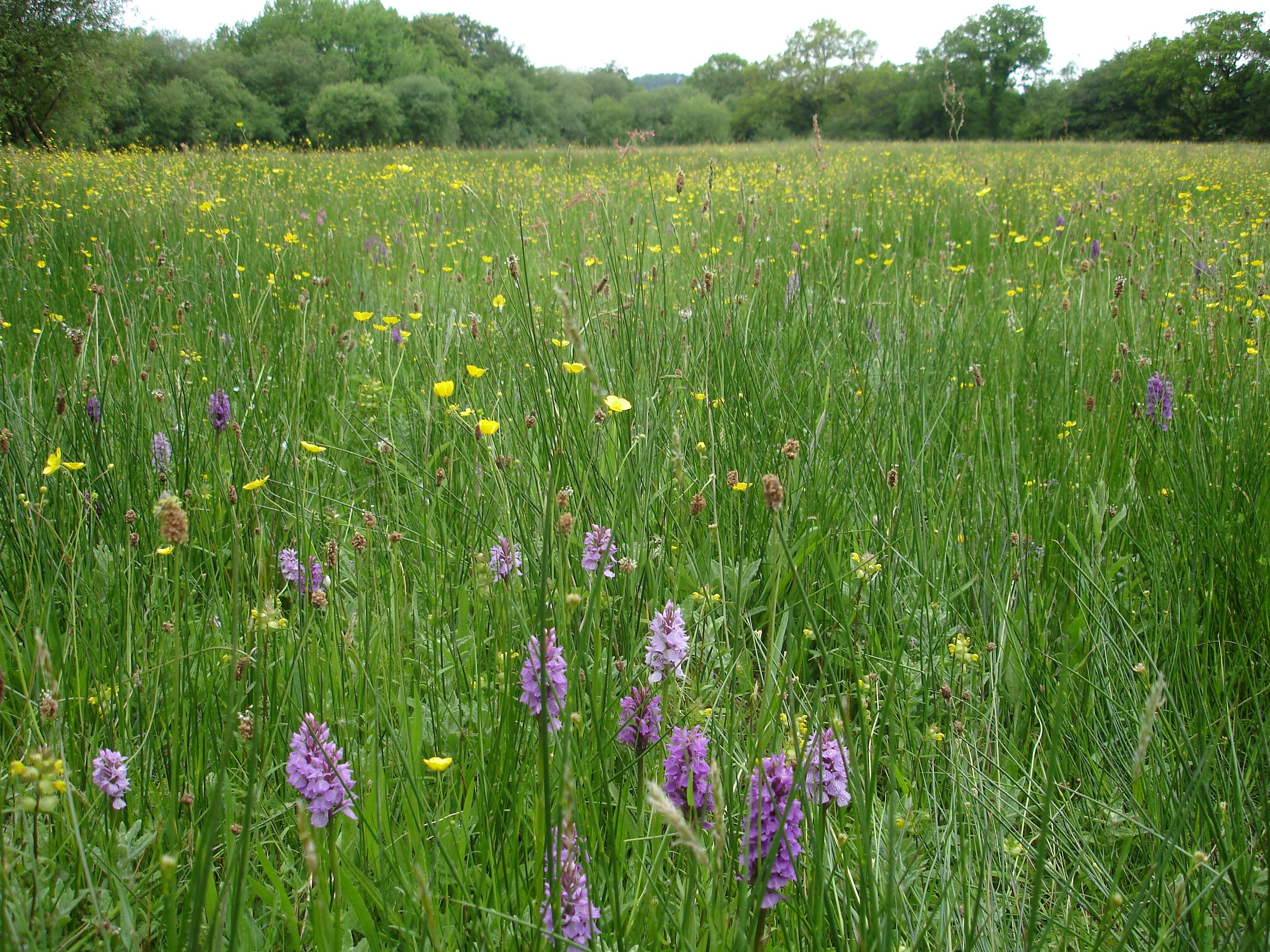 Wildflower rich grassland in North Devon. With the right wildflower seed mix - and careful management - new wildflower meadows can be created with your support