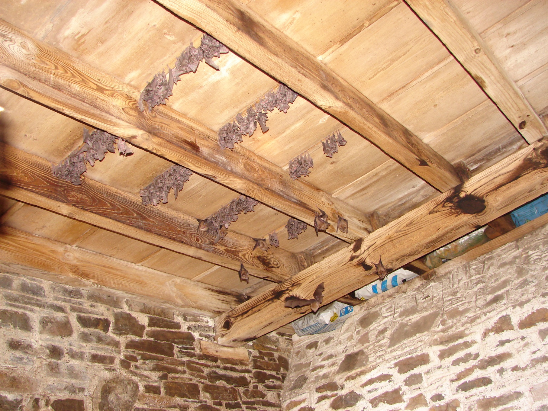 Greater horseshoe bats roosting in a barn. With your support we can build a new roost to replace a structure that will soon be unusable as a roost.